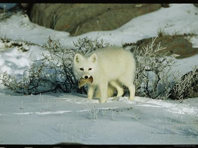 An Arctic Fox with a Fresh Kill in Its Mouth-Norbert Rosing-Photographic Print