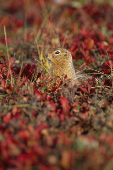 An Arctic Ground Squirrel, Spermophilus Parryii, in the Fall-Rich Reid-Photographic Print