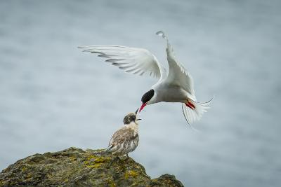An Arctic Tern Feeds a Chick While in Flight-Ralph Lee Hopkins-Photographic Print