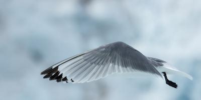 An Arctic Tern in Flight Above Monacobreen Glacier-Michael Melford-Photographic Print