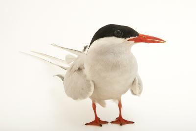 An Arctic Tern, Sterna Paradisaea, at the Buttonwood Park Zoo-Joel Sartore-Photographic Print