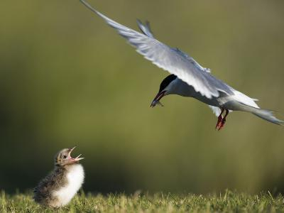An Arctic Tern, Sterna Paradisaea, Flying Towards Chick to Feed Baitfish-Michael Melford-Photographic Print