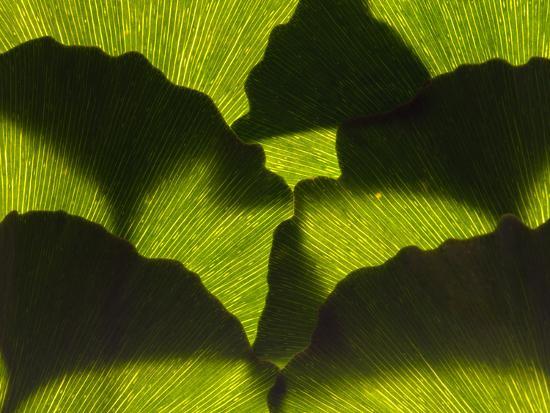 An Arrangement of Ginkgo Leaves, Ginkgo Biloba-Darlyne A^ Murawski-Photographic Print