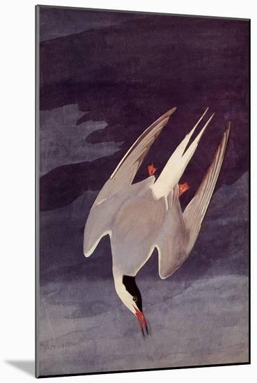 An Artic Tern, 1833-John James Audubon-Mounted Giclee Print