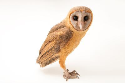 An Ashy Faced Owl, Tyto Glaucops, at Parque Zoologico Nacional-Joel Sartore-Photographic Print