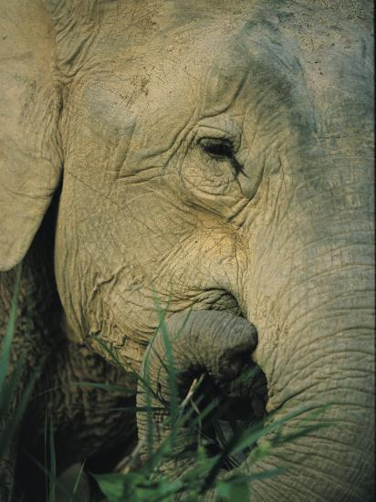 An Asian Elephant Brings a Trunkful of Grass to its Mouth-Tim Laman-Photographic Print