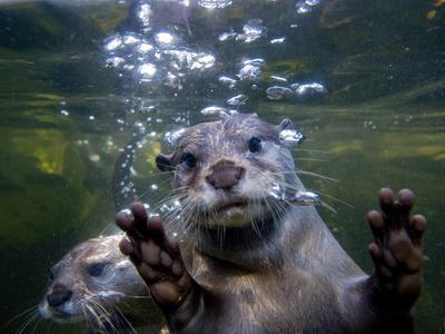 https://imgc.artprintimages.com/img/print/an-asian-or-oriental-small-clawed-otter-aonyx-cinerea-swimming_u-l-phugrv0.jpg?p=0