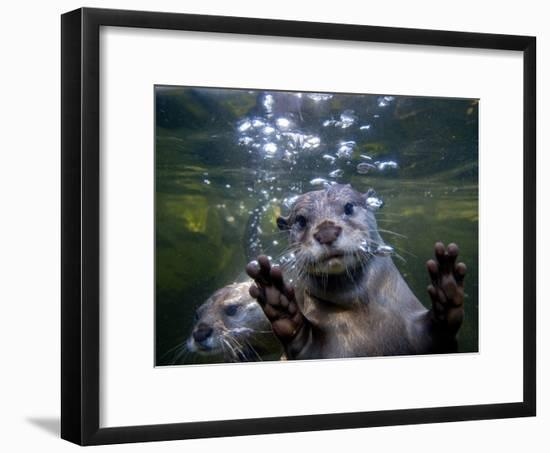 An Asian or Oriental Small-Clawed Otter, Aonyx Cinerea, Swimming-Paul Sutherland-Framed Photographic Print