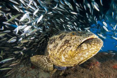 An Atlantic Goliath Grouper Swims Off the Esso Bonaire Shipwreck Artificial Reef-David Doubilet-Photographic Print
