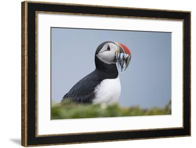 An Atlantic Puffin, Fratercula Arctica, Carrying a Mouth Full of Baitfish-Michael Melford-Framed Photographic Print