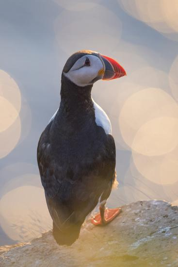 An Atlantic Puffin, Fratercula Arctica, on the Cliffs of Vigur Island in Iceland-Michael Melford-Photographic Print