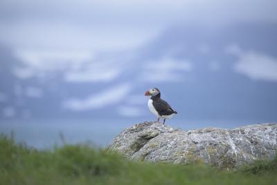 https://imgc.artprintimages.com/img/print/an-atlantic-puffin-on-vigur-island-in-isafjordur-bay_u-l-q12x34j0.jpg?p=0