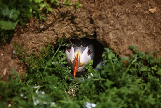 An Atlantic Puffin peers out from its burrow on Skomer Island, Wales, United Kingdom, Europe-David Rocaberti-Photographic Print