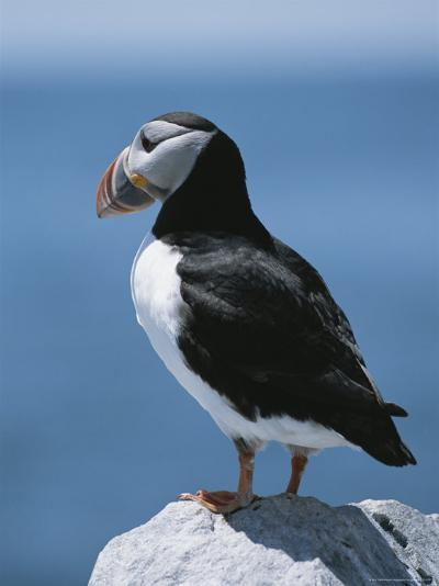 An Atlantic Puffin Perched on a Rock-Roy Toft-Photographic Print