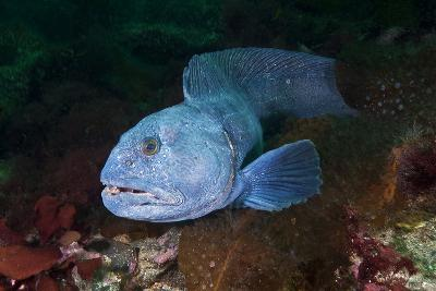 An Atlantic Wolffish Searches for a Mate in Newfoundland's Bonne Bay-David Doubilet-Photographic Print