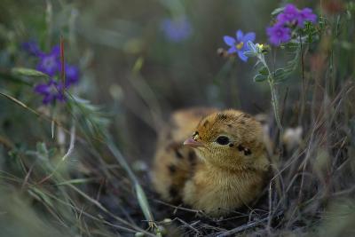 An Attwater's Prairie Chick (Tympanuchus Cupido Attwateri)-Joel Sartore-Photographic Print