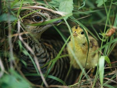 An Attwaters Prairie Chicken and Her Chick-Joel Sartore-Photographic Print