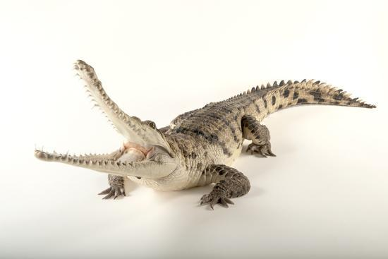 An Australian Freshwater Crocodile, Crocodylus Johnsoni, at the Omaha Henry Doorly Zoo-Joel Sartore-Photographic Print