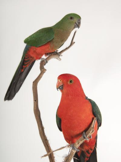An Australian King Parrot Crossed with a Red-Winged Parrot-Joel Sartore-Photographic Print