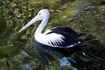 An Australian Pelican at a Zoo-Jill Schneider-Photographic Print