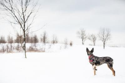 An Australian Shepherd, Cattle Dog Mix Pup Takes A Walk In The Snow-Karine Aigner-Photographic Print