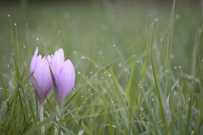 An Autumn Crocus Flower, Colchicum Autumnale, or Meadow Saffron or Naked Lady, in Dewy Grass-Joe Petersburger-Photographic Print