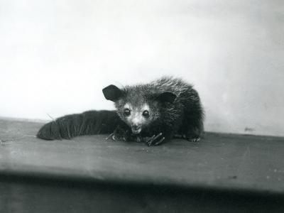 An Aye-Aye at London Zoo, October, 1913-Frederick William Bond-Photographic Print