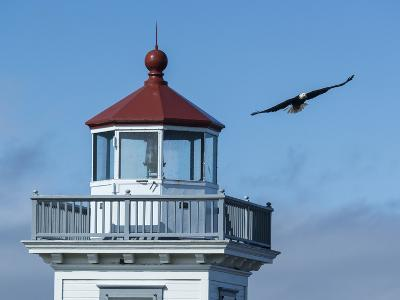 An Eagles Flies Above the Patos Island Lighthouse-Michael Melford-Photographic Print
