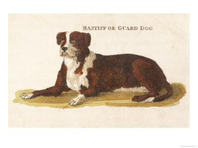 An Early British Mastiff a Breed Which at This Time was Mainly Used as a Guard--Giclee Print