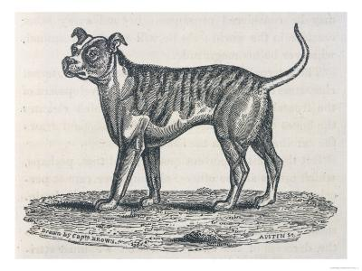 An Early Engraving of a Bulldog--Giclee Print
