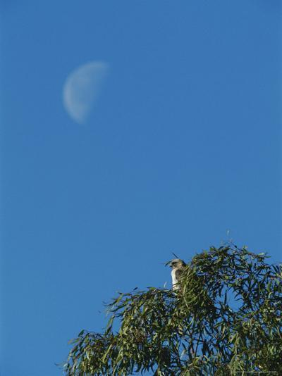 An Early Moon Rises Above a Red-Tailed Hawk Perched in a Tree-Rich Reid-Photographic Print