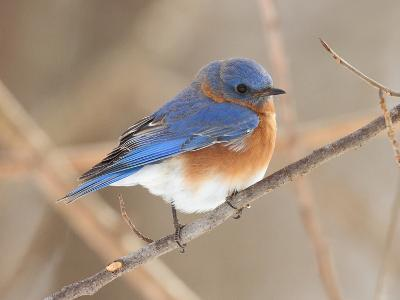 An Eastern Bluebird, Sialia Sialis, Perched on a Twig-George Grall-Photographic Print