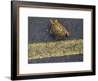 An Eastern Box Turtle Crosses the Potomac Heritage Bike Trail--Framed Photographic Print