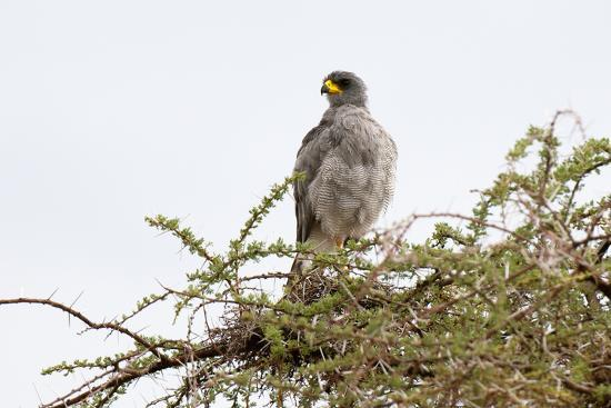 An Eastern Chanting Goshawk, Melierax Poliopterus, Perching in a Tree-Sergio Pitamitz-Photographic Print