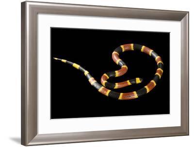 An Eastern Coral Snake, Micrurus Fulvius.-Joel Sartore-Framed Photographic Print