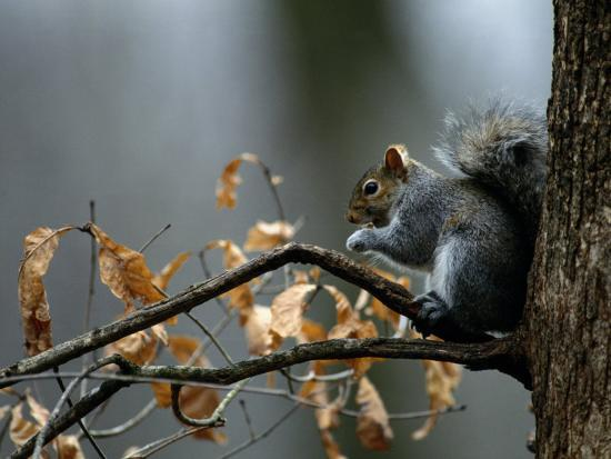 An Eastern Gray Squirrel Has a Meal in the Crotch of a Tree-Chris Johns-Photographic Print