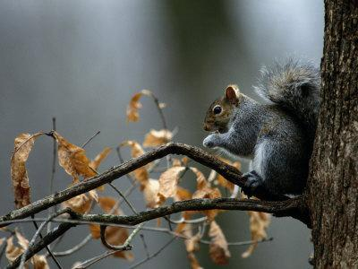 https://imgc.artprintimages.com/img/print/an-eastern-gray-squirrel-has-a-meal-in-the-crotch-of-a-tree_u-l-p3jfyg0.jpg?p=0
