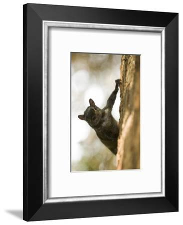 An Eastern Gray Squirrel, Sciurus Carolinensis, on the Side of a Tree-Paul Colangelo-Framed Photographic Print