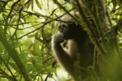 An Eastern Hoolock Gibbon in Gaoligong Mountains National Nature Reserve, China-Timothy Laman-Photographic Print