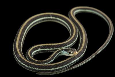 An Eastern Ribbon Snake, Thamnophis Sauritus Sauritus-Joel Sartore-Photographic Print