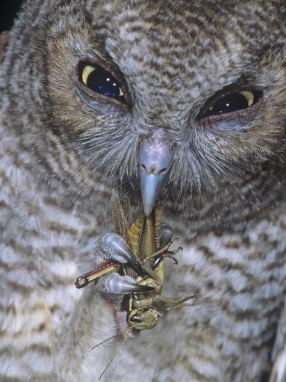 An Eastern Screech Owl, Otus Asio, Fledgling Feeding on Grasshopper, North America-Joe McDonald-Photographic Print