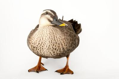 An Eastern Spot Billed Duck, Anas Zonorhyncha, at the Sylvan Heights Bird Park-Joel Sartore-Photographic Print