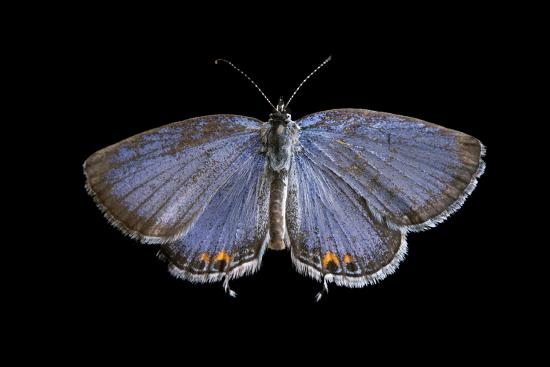 An Eastern Tailed-Blue Butterfly, Cupido Comyntas, from Neale Woods in Butler County, Nebraska-Joel Sartore-Photographic Print