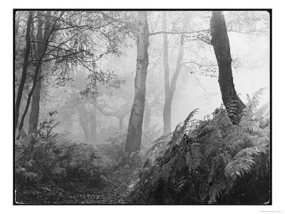 An Eerie Misty Wood with Ferns Near Esher Common Surrey England--Giclee Print