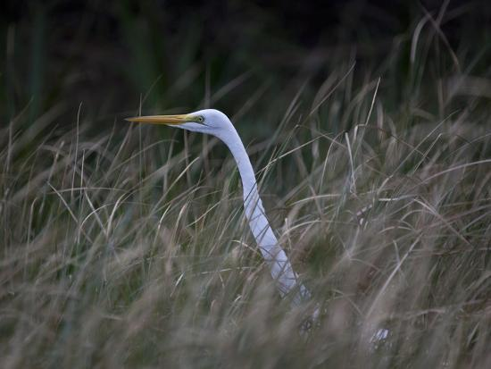 An Egret in the Marsh of the Loxahatchee River-Michael Melford-Photographic Print