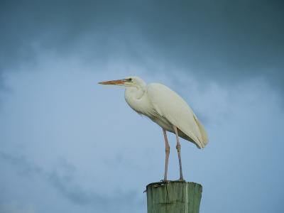 An Egret on a Pier in Key Largo, Florida-Karen Kasmauski-Photographic Print