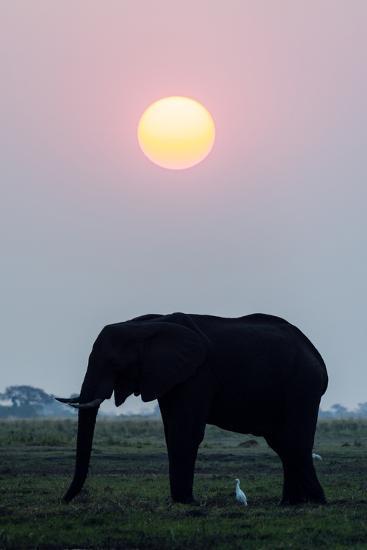 An Egret Stands Underneath an African Elephant Feeding on a Grass Island at Sunset-Jason Edwards-Photographic Print