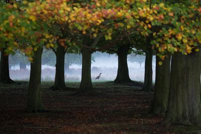 An Egyptian Goose, Alopochen Aegyptiaca, in London's Richmond Park-Alex Saberi-Photographic Print