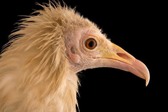 An Egyptian Vulture at Parco Natura Viva, in Bussolengo, Italy-Joel Sartore-Photographic Print