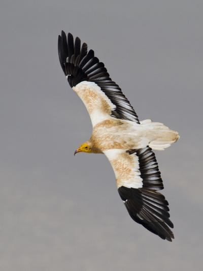 An Egyptian Vulture in Flight Above Detwah Lagoon-Michael Melford-Photographic Print